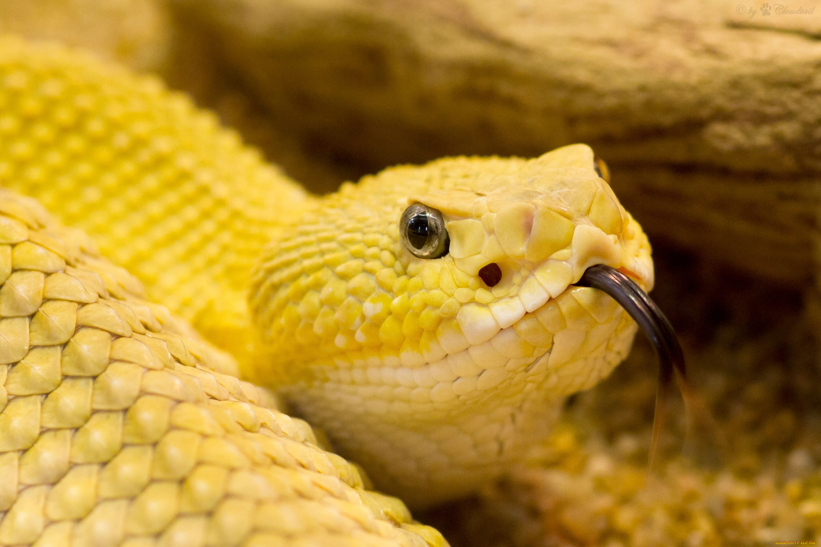 Желтая Мамба